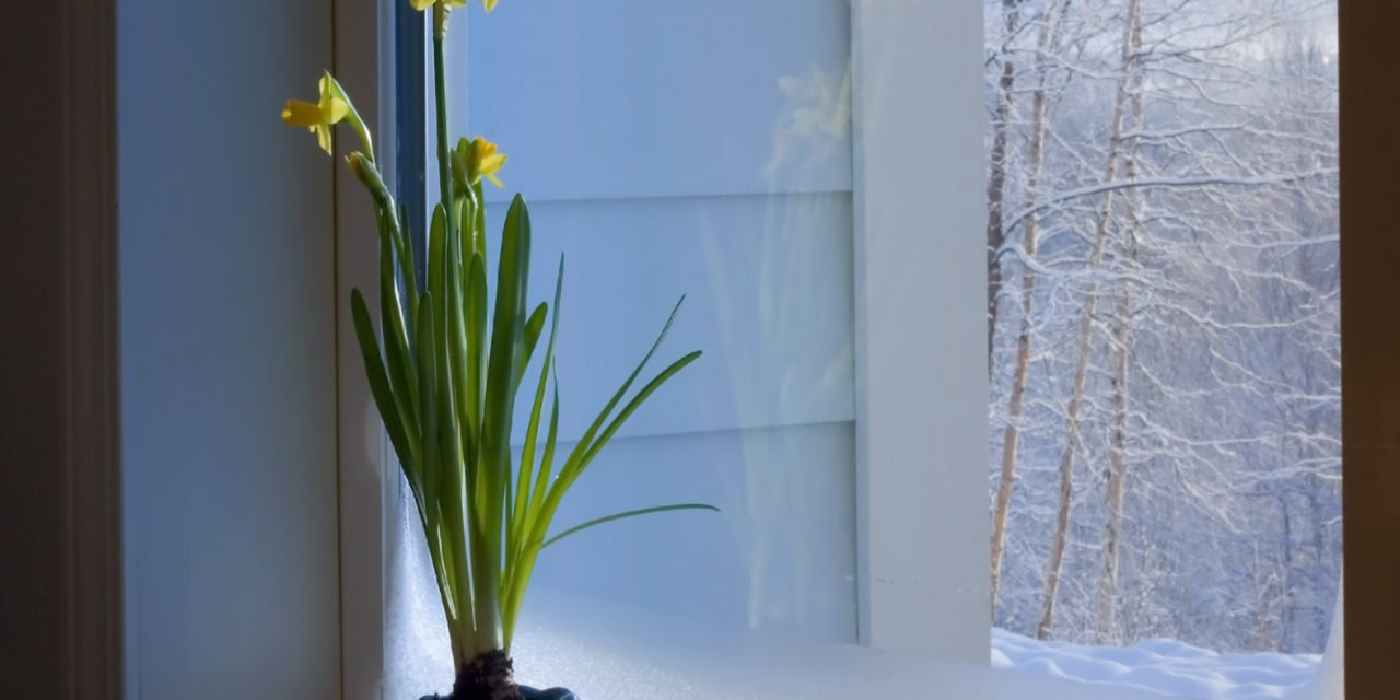 Grow Bulbs Indoors this Winter
