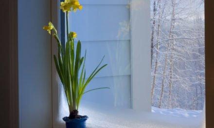 Grow Bulbs Indoors this Winter